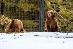 Ours gris pendant l'hiver avec le froid de jeu de styleeat de la vie de neige Photographie stock libre de droits
