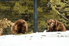 Ours gris pendant l'hiver avec le froid de jeu de styleeat de la vie de neige Photo stock