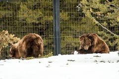 Ours gris pendant l'hiver avec le froid de jeu de styleeat de la vie de neige Photos stock