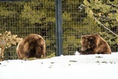Ours gris pendant l'hiver avec le froid de jeu de styleeat de la vie de neige Photos libres de droits