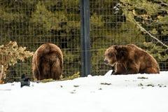 Ours gris pendant l'hiver avec le froid de jeu de styleeat de la vie de neige Photo libre de droits