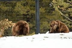 Ours gris pendant l'hiver avec le froid de jeu de styleeat de la vie de neige Images libres de droits