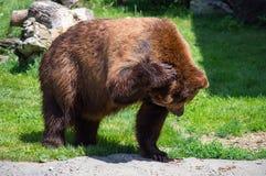 Ours gris rayant sa tête Images libres de droits