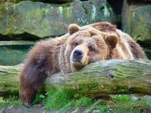 Ours gris s'étendant parmi des roches photos libres de droits