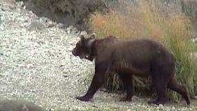 Ours gris sauvage de l'Alaska banque de vidéos