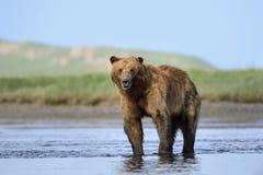 Ours gris se tenant en rivière Images libres de droits