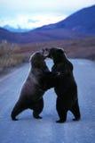Ours gris se tenant et combattant au milieu de la route (U Photographie stock