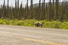 Ours gris sur le bord de la route Photos libres de droits