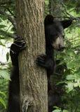 Ours jetant un coup d'oeil à l'extérieur par derrière un arbre Photos stock