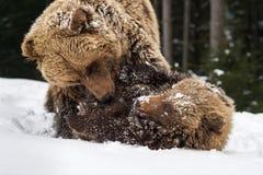 Ours jouant dans la forêt d'hiver Image libre de droits