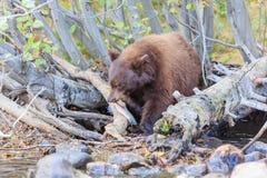 Ours, le lac Tahoe Photos libres de droits