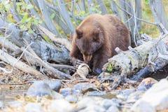 Ours, le lac Tahoe Image libre de droits