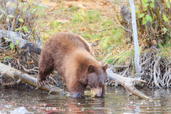 Ours, le lac Tahoe Photographie stock