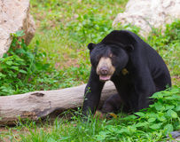 Ours malais du soleil ou ours de miel dans la saison d'accouplement Image stock