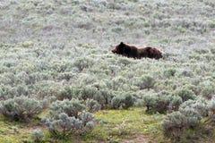 Ours masculin grisâtre en Hayden Valley en parc national de Yellowstone au Wyoming Etats-Unis Photo libre de droits