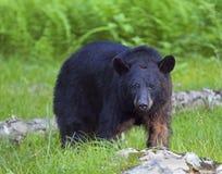 Ours noir Photo libre de droits