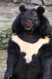 Ours noir Image libre de droits