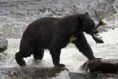 Ours noir, Alaska Photographie stock libre de droits