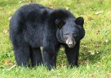 Ours noir américain Photo libre de droits
