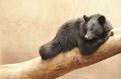 Ours noir asiatique Image libre de droits