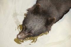 Ours noir asiatique Images libres de droits