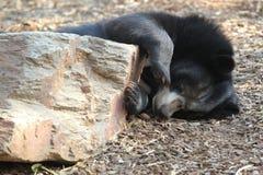 Ours noir asiatique photos libres de droits