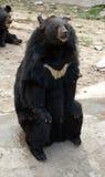 Ours noir asiatique Photographie stock