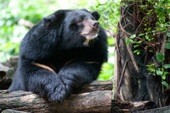 Ours noir asiatique. images libres de droits
