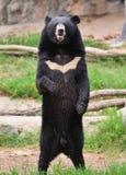 Ours noir asiatique images stock