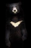 Ours noir asiatique Photographie stock libre de droits