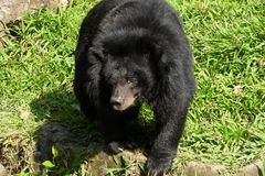 Ours noir asiatique dans sa clôture herbeuse au zoo de Saigon Images stock