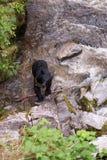 Ours noir avec le crochet frais Photo libre de droits