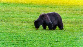 Ours noir avec une fourrure épaisse alimentant dans un domaine en hiver tôt avant d'aller dans l'hibernation en Wells Grey Provin photos libres de droits