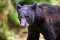 Ours noir coloré par cannelle Image stock