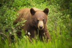 Ours noir de cannelle photographie stock libre de droits