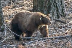 Ours noir de la Californie en sierra Nevada Forest Ursus Americana image libre de droits