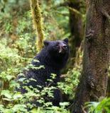 Ours noir de mère Photographie stock