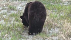 Ours noir de ressort en Alaska banque de vidéos
