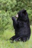 Ours noir mangeant des aiguilles de pin Images libres de droits