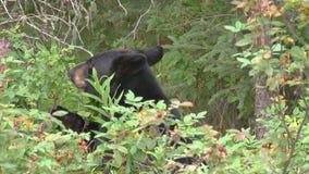 Ours noir mangeant des baies banque de vidéos