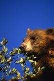 Ours noir mangeant des glands Image libre de droits