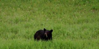 Ours noir mangeant l'herbe verte fraîche Images stock