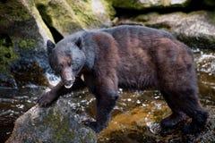 Ours noir regardant le photographe Images libres de droits