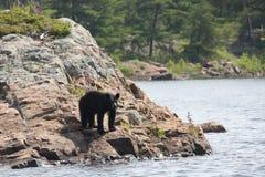 Ours noir se tenant sur le rivage rocheux Photo stock
