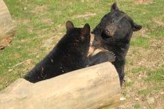 Ours noirs américains Photographie stock