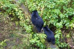 Ours noirs dans le sanctuaire de forêt tropicale de l'Alaska Photographie stock