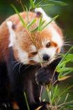Ours panda rouge, fulgens d'Ailurus, dans son habitat naturel photo libre de droits