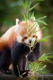 Ours panda rouge, fulgens d'Ailurus, dans son habitat naturel photographie stock