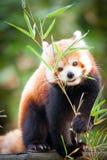 Ours panda rouge, fulgens d'Ailurus, dans son habitat naturel photos stock