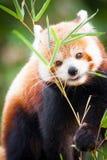 Ours panda rouge, fulgens d'Ailurus, dans son habitat naturel image libre de droits